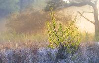 small birch in shadow on misty sunrise