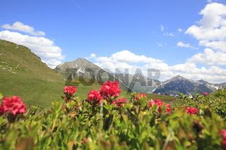 Almrosenblüte am Jaufenpass, Südtirol, Italien