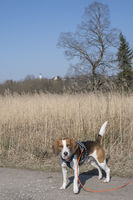Beagle  im Moor bei Gaissach