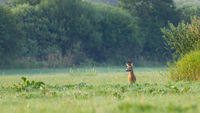Roe deer buck standing on meadow in summer nature with copy space.