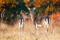Two fallow deer standing on meadow in autumn nature.