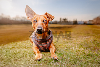 Portrait of a young brown healthy crossbreed dog sitting on the meadow grass in a field.