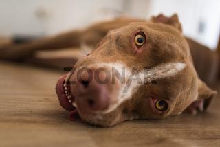 Dog lying on wooden floor indoors, brown amstaff terrier resting.