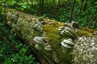 Zunderschwamm, fomes fomentarius, horse's hoof fungus;
