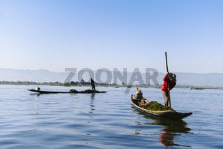 Bauern sammeln Seegras auf dem Inle-See, Nyaung Shwe, Myanmar, Asien