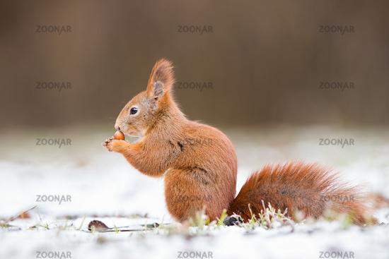 Red squirrel, sciurus vulgaris, on gripping a nut on snow