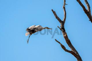 Grey Heron (Ardea cinerea) Approaching the Nest