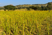Anbau von Teff Zwerghirse (Eragrostis tef) in der Hawzien Hochebene, Tigray Provinz, Äthiopien
