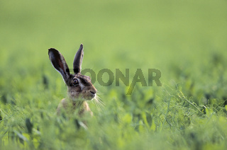 Feldhase schaut neugierig aus einem Feld / European Hare looking curious out of a field - (Brown Hare) / Lepus europaeus