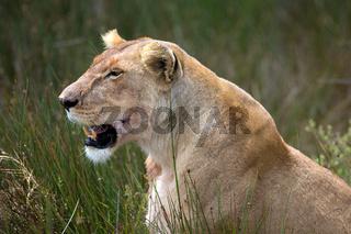 Löwen Porträt