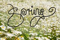 Sunny White Daisy Flower Meadow, Calligraphy Spring