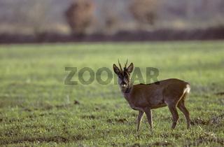 Rehbock mit Bastfetzen am Gehoern / Roe Deer buck with rests of velvet in his antler / Capreolus capreolus