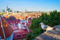 Seagull Old Town Tallinn Estonia