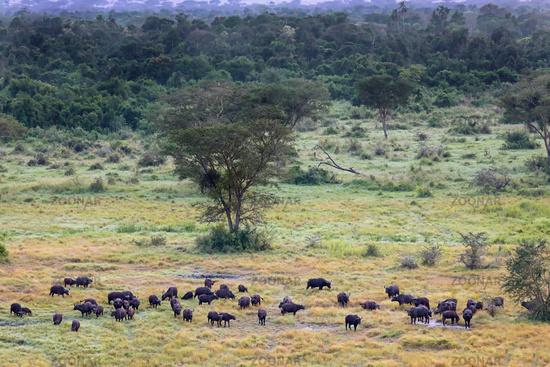 Afrikanische Büffel im Ishasha-Sektor des Queen Elizabeth Nationalparks, Uganda (Syncerus caffer)   African buffalos at Queen Elizabeth National Park, Ishasha, Uganda (Syncerus caffer)