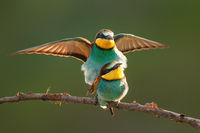 European bee-eater couple mating on bough in summer.