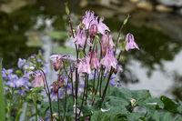 Gemeine Akelei (Aquilegia vulgaris), rosa Hybride im Garten