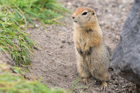 Arctic ground squirrel, carefully looking so as not to fall into jaws of predatory beasts. Cute wild animal of genus rodents of squirrel family