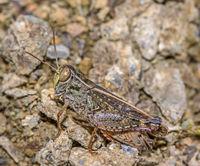 Italienische Schönschrecke 'Calliptamus italicus'