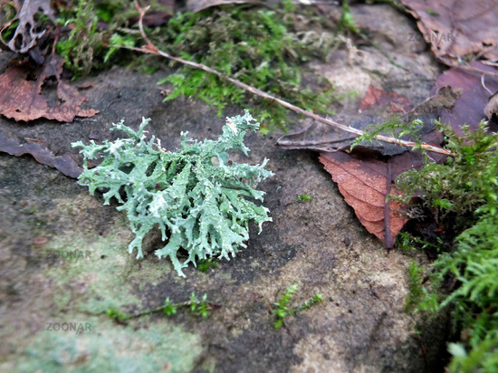 a selective focus close up of winter moss and lichen on damp stone with dead leaves and twigs