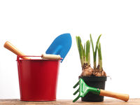 Gardening tools with narcissus bulbs on white