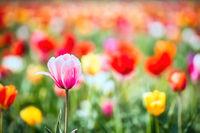 Ein kunterbuntes Feld mit Tulpen. Schwache Tiefenschärfe