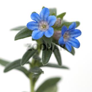 Blaurote, Steinsame, Blauroter, Rindszunge,