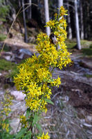 Gewöhnliche Goldrute (Solidago virgaurea), auch Gemeine Goldrute oder Echte Goldrute - Blütenstand
