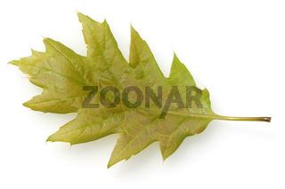 Eichenblatt; Eichenblaetter; Quercus; Robur;