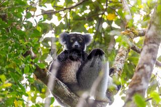 Black and white Lemur Indri on tree