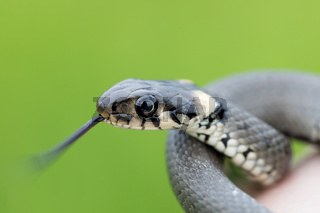 Closeup of grass snake, Natrix natrix