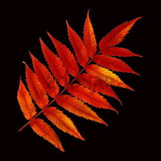 Essigbaum, Rhus, hirta, Herbstfaerbung,