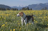 Beagle in Löwenzahnwiese