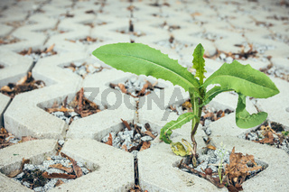 Green plant sprout breaks through pavement