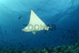 Aetobatus narinari, Gepunkteter Adlerrochen, White Spotted Eagle Ray, Malediven, Maldives