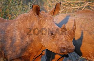 Rotes Abendlicht auf jungem Breitmaulnashorn im Kruger Nationalpark, Südafrika, warm evening light on white rhinoceros, South Africa