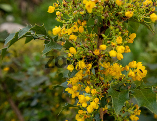 Green leaves and yellow flowers of Mahonia Aquifolium