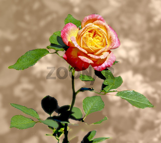Blühende Rose, gelb-rose,