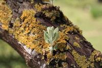 Blatttrieb an einem Baum
