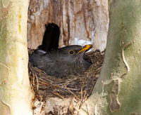 Breeding blackbird in its nest
