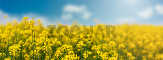 Yellow rapeseed field with blue sky, flowering plants close up. Color wide-angle agricultural background with copy space