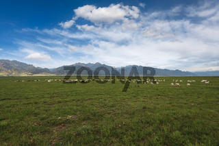 sheep herd on grassland under the blue sky