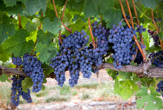 Grapes on the Vine Long Horizontal Row of Sweet Ripe Fruit