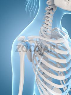 medical illustration of the shoulder
