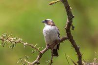 White-browed sparrow-weaver, Ethiopia wildlife