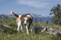 Beagle wandert auf die Hochalm