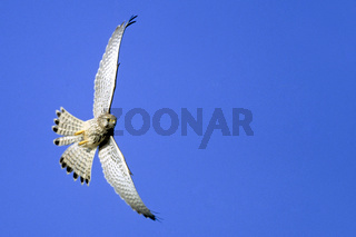 Turmfalke auf Nahrungssuche / Common Kestrel foraging - (European Kestrel - Old World Kestrel) / Falco tinnunculus
