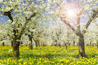 Apfelbaum in Blüte im Frühling