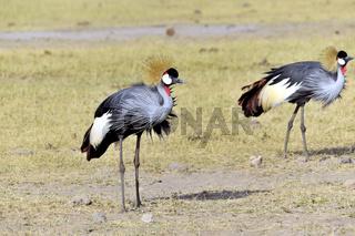 Grauhals-Kronenkranich in Amboseli