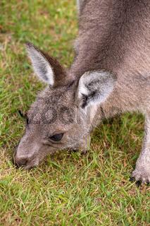 Kangaroo eating grass