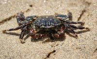 Kleine Krabbe am Strand zum Pazifik